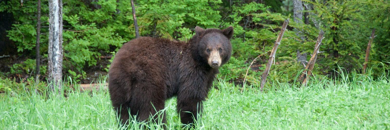wat moet je doen als je een beer tegenkomt